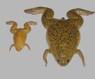<p>A X. tropicalis à esquerda e a X. laevis à direita, esta usada como teste de gravidez em 1940</p>