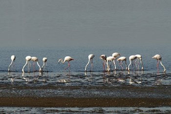 <p>Em Portugal, a espécie pode ser observada desde o estuário do Tejo até ao Algarve</p>