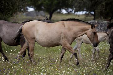 <p>Esta é a raça de cavalos portugueses mais ameaçada, que conta com cerca de 200 indivíduos</p>