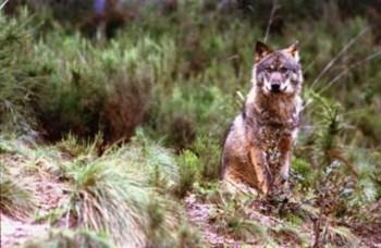 <p>Estima-se que existam em Portugal cerca de 300 lobos</p>