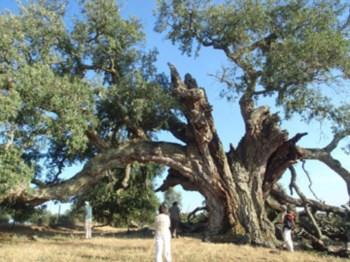 <p>O sobreiro de Pai Anes será o mais antigo do país</p>
