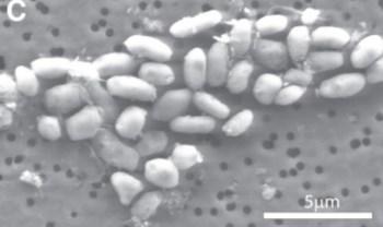 E A NASA pariu uma bactéria da California