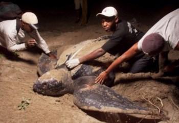 <p>Uma tartaruga pode atingir os dois metros de comprimento</p>