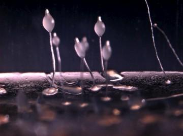 A colónia de Dictyostelium discoidieum com bactérias, quando está na forma de pedúnculo, pronto para lançar esporos de amibas