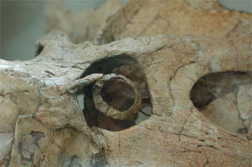 Pormenor da cavidade ocular do dinossauro Protocerátopo, activo de noite e de dia