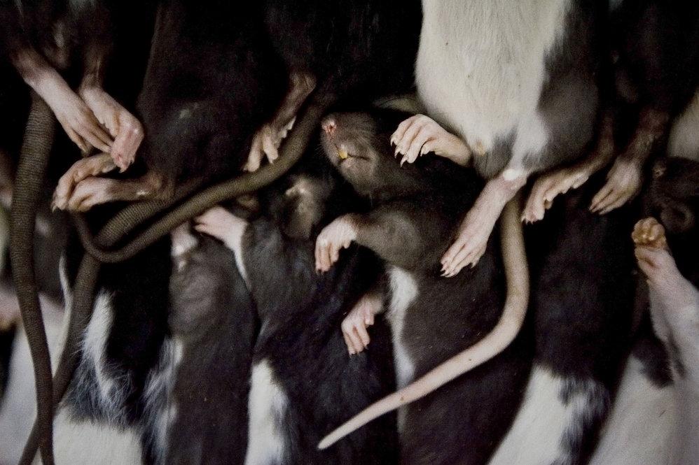 Os ratos congelados custam cerca de um euro cada e vêm da Alemanha