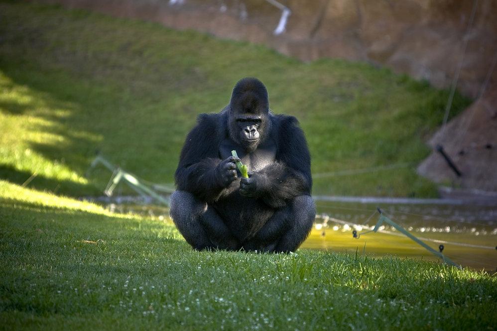 Nasibu§ o gorila