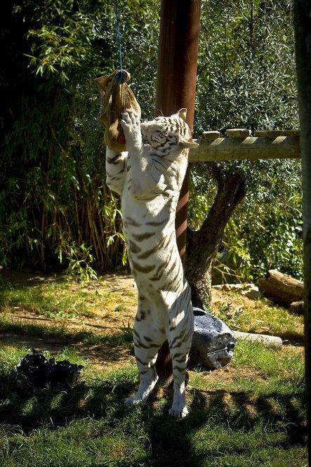 """Os tigres têm de """"trabalhar"""" para chegarem à carne"""