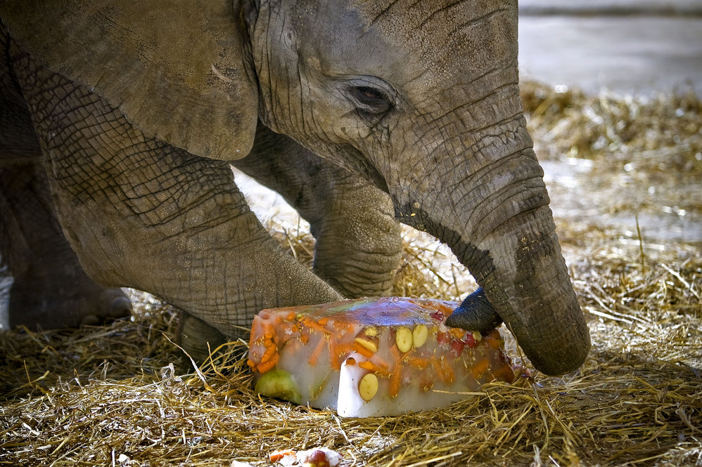 Cada elefante ingere entre 50 a 60 kg de comida por dia