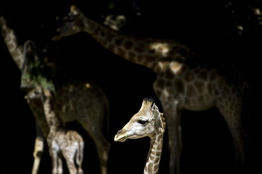 A mais nova das girafas do Zoo ainda só bebe leite da mãe