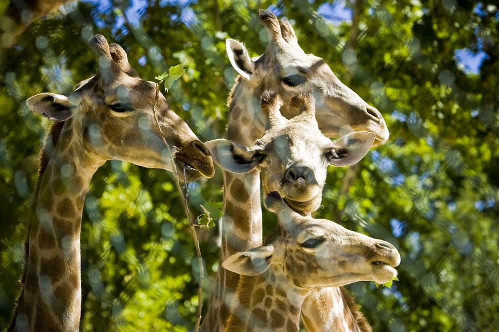 As girafas adoram folhas de amoreira