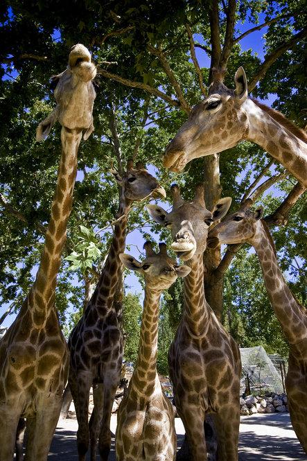 """As girafas são muito """"oferecidas"""" no contacto com os humanos"""