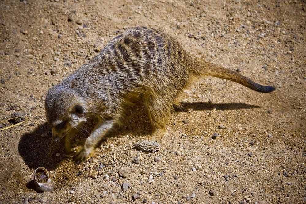 Os suricatas adoram caracóis