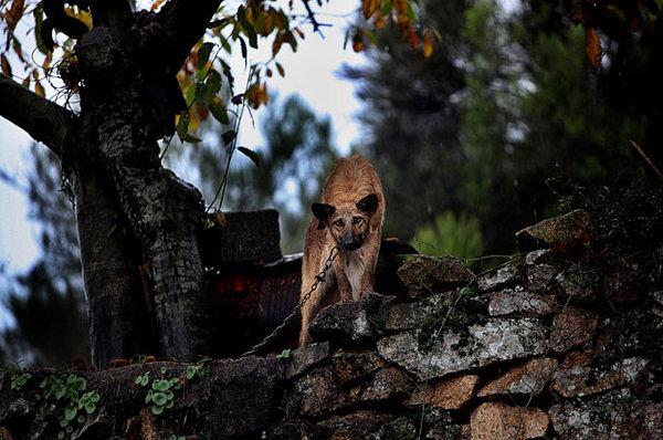 O cão que guarda a casa de Augusto§ que diz que os lobos já lhe comeram dois cães