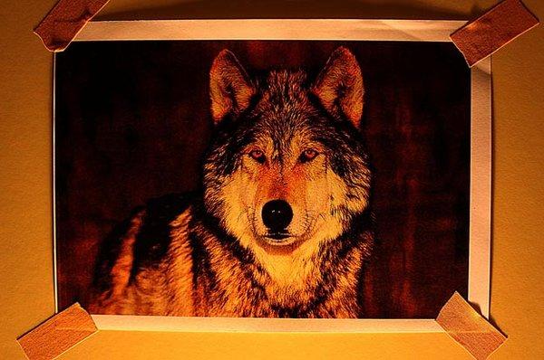 Um lobo dentro de casa