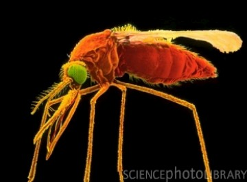 O parasita da malária é transmitida pelo mosquito Anopheles