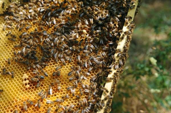 """<p>Estudos apontam o dedo aos pesticidas como causa do """"desaparecimento"""" das abelhas</p>"""