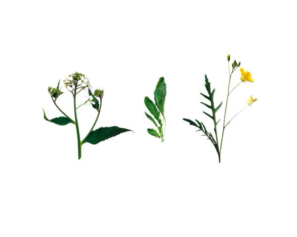 Da esquerda para a direita: Juliana-dos-jardins Hesperis matronalis; Rúcula Eruca vesicaria subsp. sativa; e Grisandra Diplotaxis muralis.