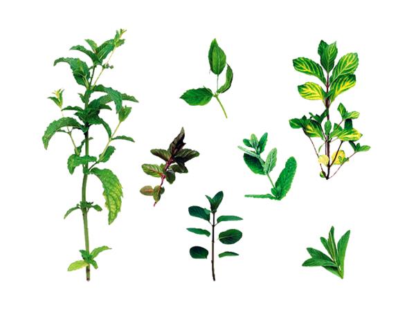 Da esquerda para a direita: Hortelã-marroquina Mentha spicata var. crispa 'Moroccan'; Hortelã-chocolate Mentha x piperita citrata 'Chocolate'; (em cima) Hortelã Mentha spicata; Hortelã-pimenta preta Mentha x piperita var. piperita; Hortelã-brava Mentha suaveolens; (em cima) Hortelã-gengibre Mentha x gracilis (syn. M x gentilis); e Hortelã-pimenta Mentha x piperita