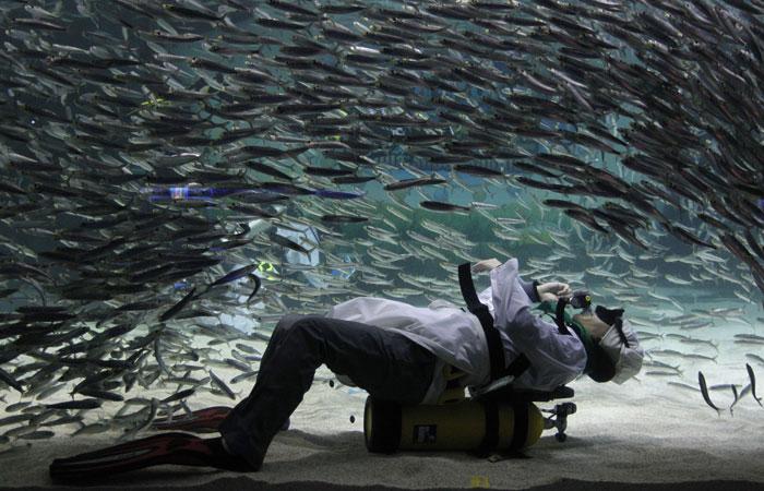 Coreia do Sul, Seul | Um curioso encontro: fotógrafo mergulhador vestido de cozinheiro em mar de sardinhas - um