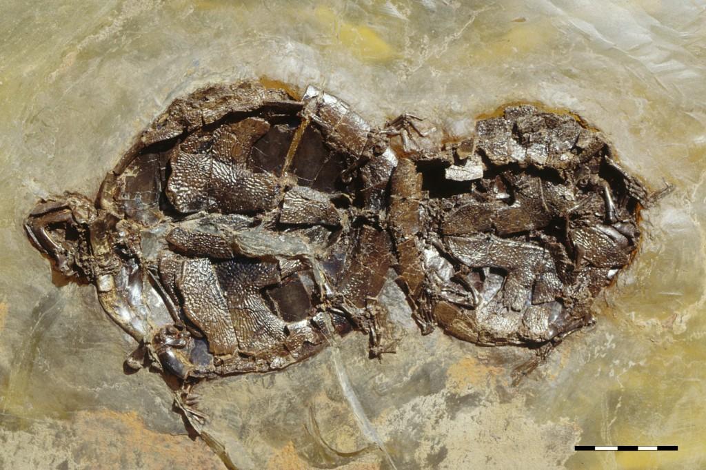 O par de tartarugas a copular: a  fêmea, maior (à esquerda) e o macho, menor (à direita)