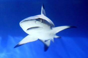 A UICN diz que um terço das espécies pelágicas de tubarões do planeta está ameaçada de extinção