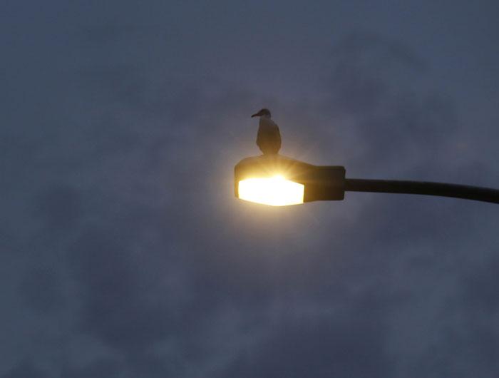 Japão, Tóquio, 27.07.2011 | Uma gaivota em momento de descanso luminoso enquanto o país debate a energia e o nuclear |