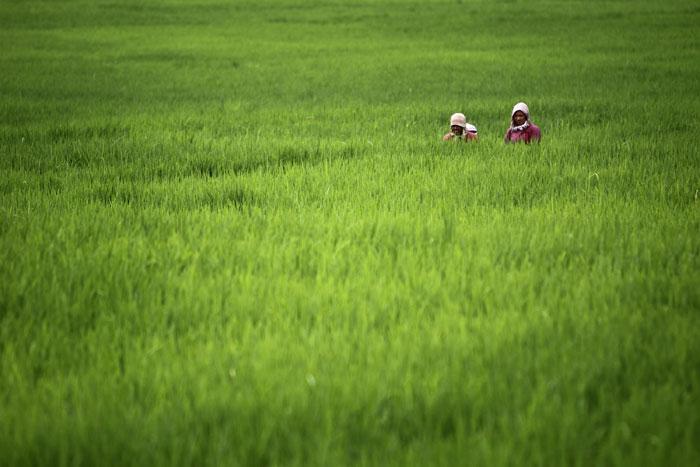 Nepal, Khokana, 27.07.2011 | O trabalho no campo nepalês, num arrozal na aldeia de Khokana, a sul de Katmandu |