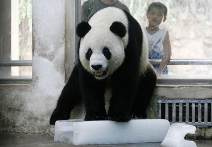 Chima, Wuhan, 29.07.2011 | Panda em bloco de gelo, no zoo de Wuhan, para refrescar-se