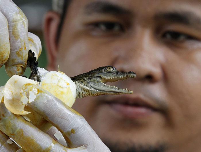 Filipinas, 28.07.2011 | Numa quinta de crocodilos, um profissional auxilia o nascimento de um crocodilo Mindoro, uma das espécies mais ameaçadas de extinção do mundo |