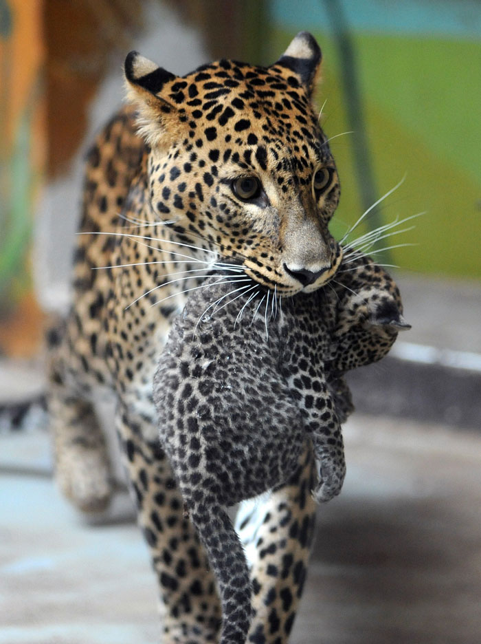 Eslováquia, Bratislava, 28.07.2011 | Sariska, mãe leopardo, transporta o seu recém-nascido, Nayana, durante a primeira apresentação ao público desta e de outra cria |