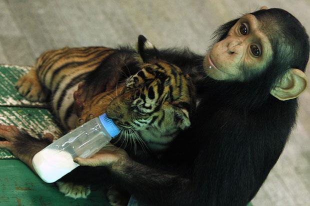 Tailândia, 30.07.2011 | O Do Do é um chimpanzé de 2 anos com fortes instintos paternais: aqui, alimenta a biberão o jovem Aorn, um tigrezinho com 60 dias. Vivem ambos no zoo (e quinta de crocodilos) de Samut Prakan.