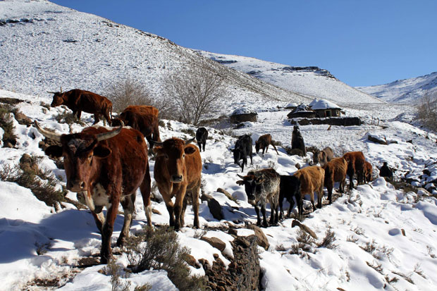 Lesoto, 31.07.2011 | O gado a ser conduzido pelos campos nevados do Lesoto, reino em enclave na África do Sul. Nas montanhas do Lesoto, as temperaturas descem abaixo de zero e as neves caíram recentemente. |