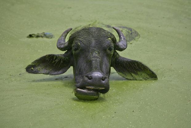 Caxemira (administração indiana), 5.08.2011 | Um bufalo refresca-se num lago nos arredores de Jammu.