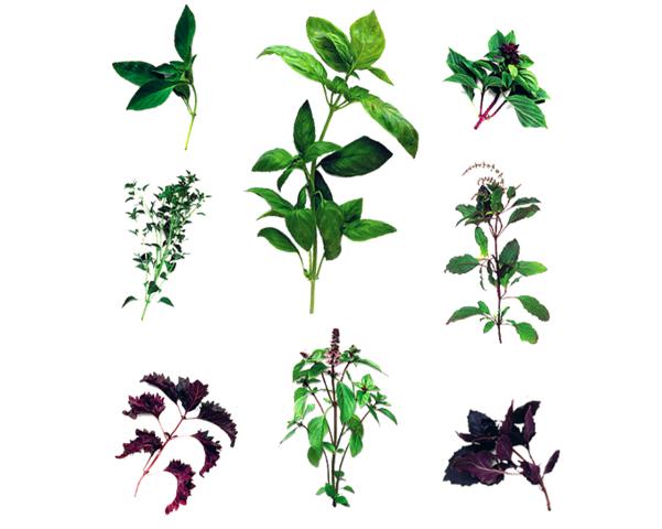 Por colunas, da esquerda para a direita e de cima para baixo: Manjericão-limão Ocimum x citriodorum; Manjericão-de-folha-miúda Ocimum minimum 'Greek'; Manjericão-roxo de folhas franzidas Ocimum basilicum var. purpurascens 'Purple Ruffles'; Manjericão-de-folha-larga Ocimum basilicum; Manjericão-anis Ocimum basilicum 'Horapha'; Manjericão-santo Ocimum sanctum; Manjericão-roxo Ocimum basilicum var. purpurascens.