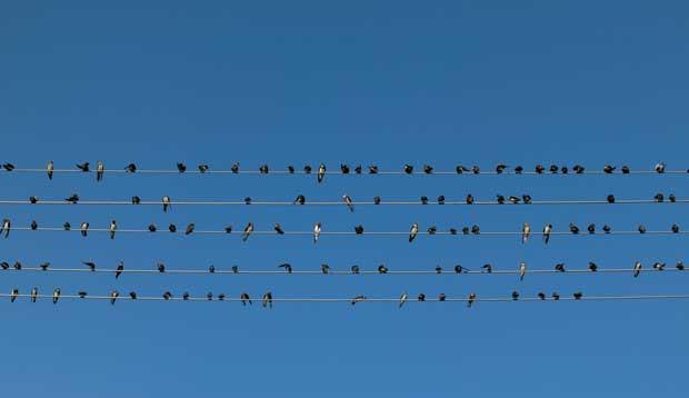 Um bando de andorinhas nos fios - uma pauta musical viva
