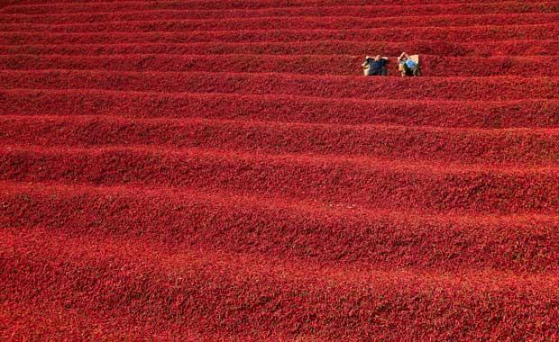Horgos, no norte da Voivodina, é célebre pelos seus campos de malaguetas