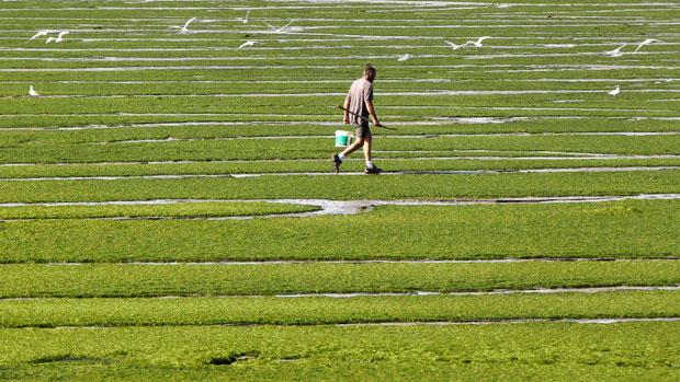 França, Bretanha, 30.08.2011 | Um homem atravessa um campo de algas, em Kerlaz (Douarnenez, Bretanha) aproveitando a maré baixa para procurar marisco.