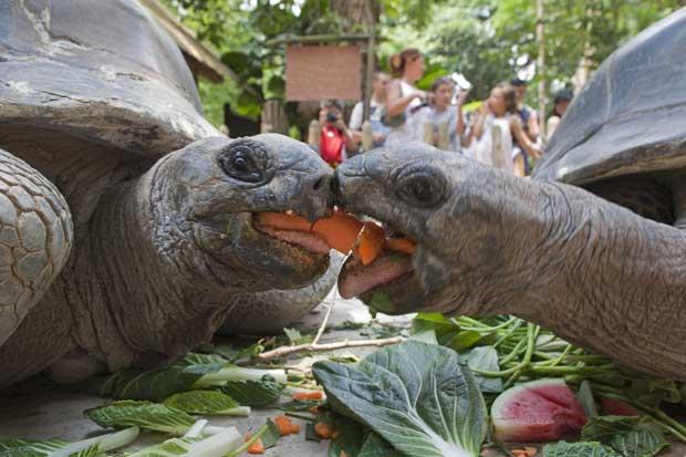Seychelles, 06.09.2011 | Entre a partilha e a luta, duas tartarugas gigantes – da espécie Aldraba, que podem ter uma carapaça de 1,20m e pesar mais de 250kg – fotografadas numa ilha do Atol de Aldraba.