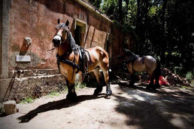Os cavalos da raça Ardennais são um ex-libris da Quinta da Pena
