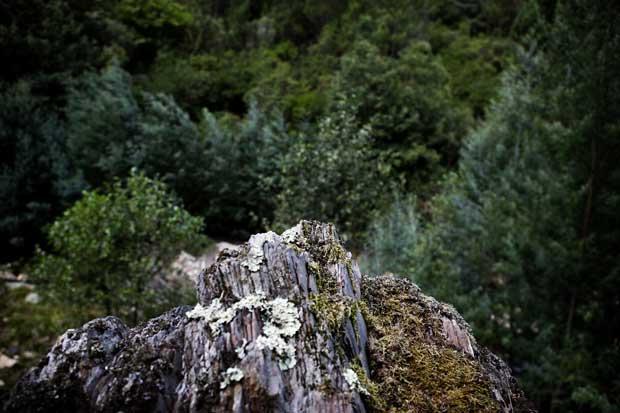 São os pinheiros e, mais recentemente, o eucalipto a tomarem conta de uma paisagem que já foi reino do castanheiro
