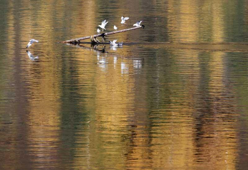 Rússia, 20.09.2011 | Reflexos de Outono na Taiga (floresta boreal) da Sibéria, no rio Yenisei. As gaivotas aproveitam um marco de navegação perto de Krasnoyarsk.