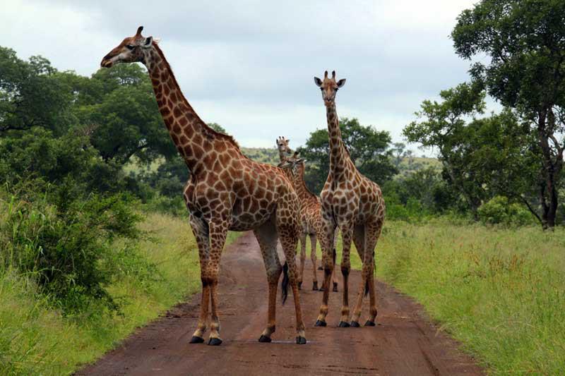 África do Sul- Provincia de Mpumalanga - Kruger Park, Grupo de girafas, Janeiro de 2011 - por Andrea Afonso