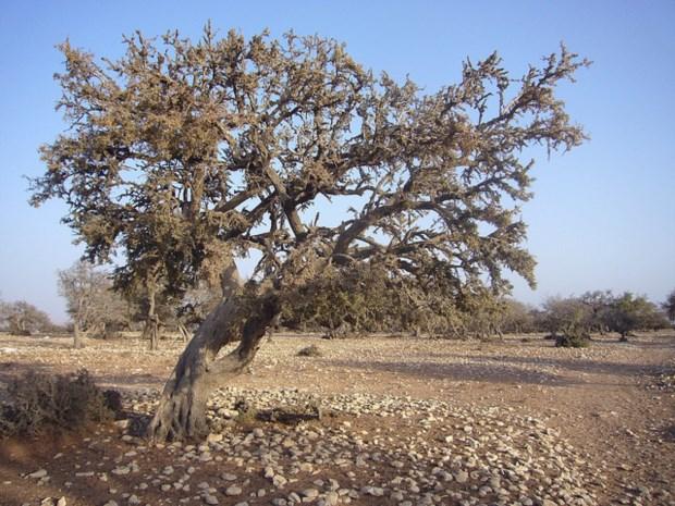 A argânia é uma árvore sagrada na cultura local e internacionalmente protegida pela UNESCO
