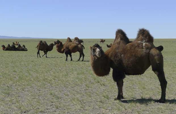 Mongólia, 19.10.20.11 | Camelos a pastar no deserto de Gobi.