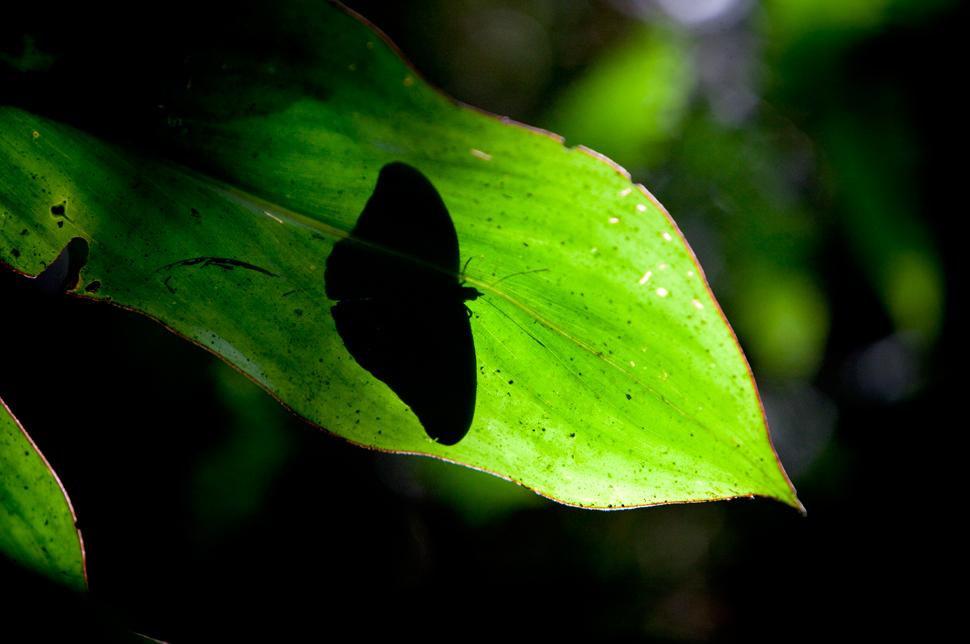 Não se pode dizer que se viram borboletas até ter ido à Amazónia! Há-as de todos os feitios, cores e tamanhos, por vezes de branco integral, de um azul impossível, laranja e negro em recortes e padrões, a chover sobre nós ou ariscas, sempre um voo à nossa frente…