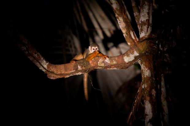 """Os macacos-esquilo têm medo de alguma coisa? Devem ter, certamente, mas dos humanos não aparentam ter. Nem à noite foge dos focos de luz – estão sempre prontos para o seu grande """"close-up""""."""