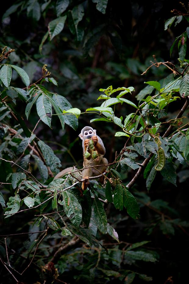 """""""Quem são estes, o que querem daqui"""", parece dizer este macaco-esquilo, que não deixa que a aproximação de uma canoa cheia de humanos perturbe a sua refeição."""