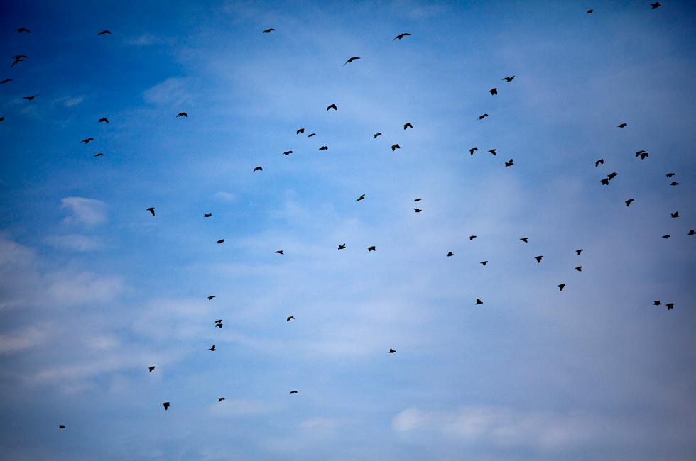 A passarada no céu, em fuga apressada – serão papagaios, talvez, afugentados por um grito de alerta: há um falcão nas redondezas.