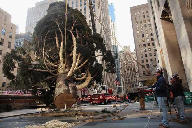 EUA, 11.11.2011 | Natal à espreita: uma das mais célebres árvores de Natal do mundo, a do Rockefeller Center em Nova Iorque, a ser colocada no seu sítio. Dia 30/11, a árvore de 23m, é iluminada.